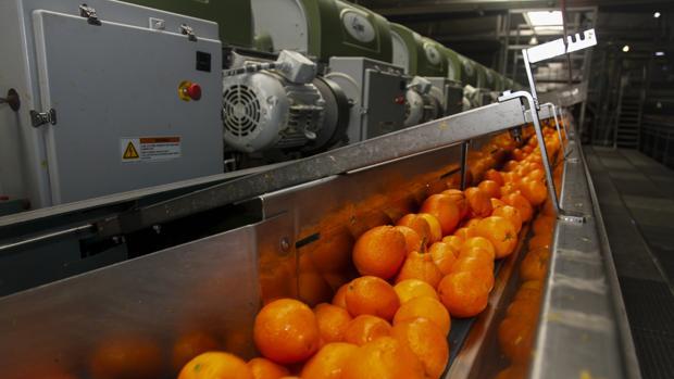 Naranjas en una cadena de producción para ser envasadas