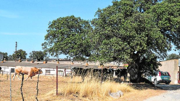 Explotación ganadera en Los Pedroches, cuyo cierre motivó la agresión al veterinario