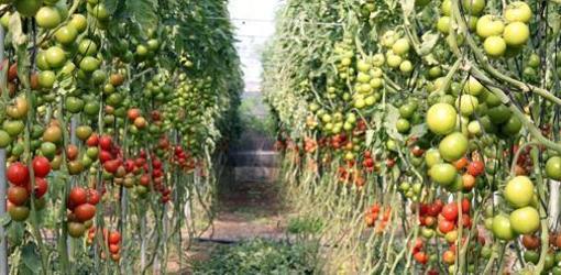 Invernadero de tomates en Almería