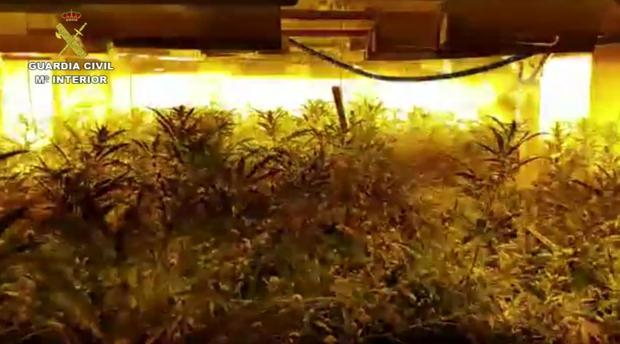 Imagen de la plantación de marihuana desmantelada en San Roque