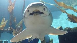 Un tiburón de Port Jackson