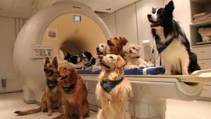 Los obedientes perros fueron entrenados para entrar en un escáner
