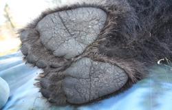 Pies de una osa joven durante su marcaje en Polonia
