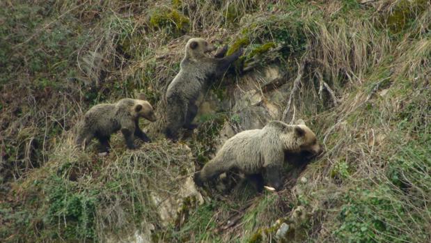 Osa con crías en la Cordillera Cantábrica