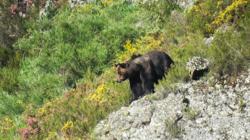 Oso macho en la Cordillera Cantábrica