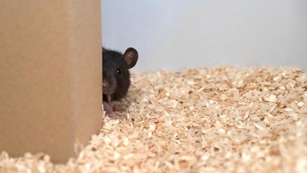 Las ratas aprenden a jugar al escondite ¡y lo hacen muy bien!