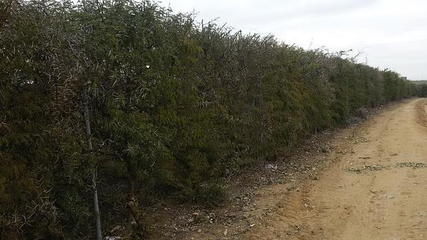 Un arbusto africano se convierte en el guardi n contra los - Arbustos para vallas ...