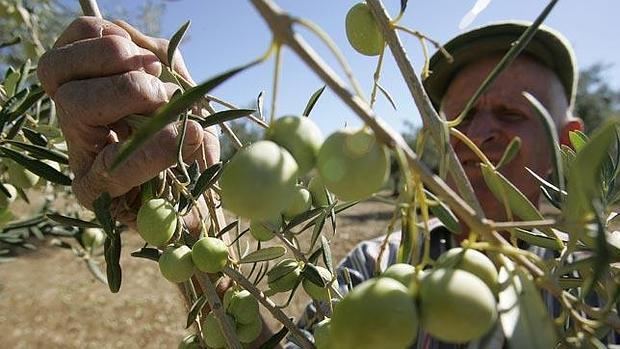 En la provincia se han arrancado miles de olivos manzanillo y gordal por su escasa rentabilidad