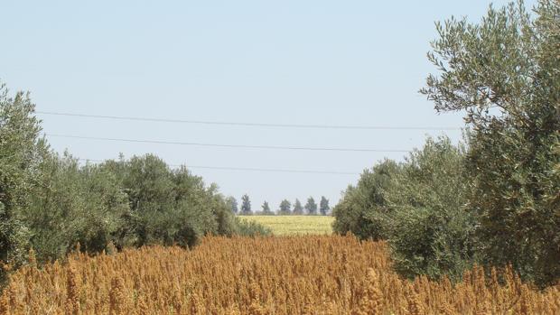 Las siembras de quinoa empiezan a finales de diciembre y suelen acabar en febrero