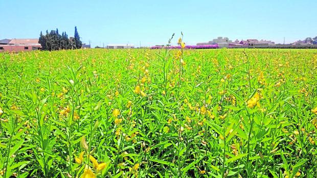 La crotalaria juncea requiere poca agua y ofrece un gran rendimiento en campo