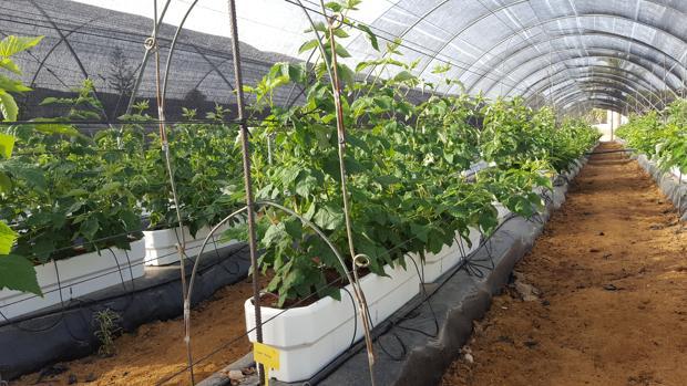 Ensayo del cultivo de la variedad de frambuesas Santa Teresa
