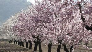 El cultivo del almendro ha crecido mucho en Andalucía