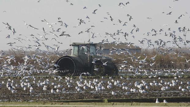 Las siembras de arroz ya han concluido en la provincia de Sevilla