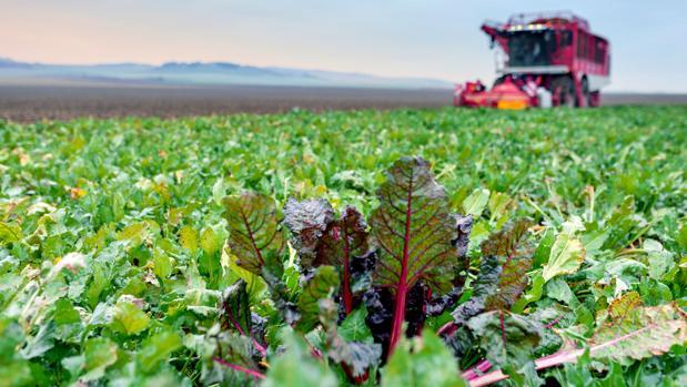 El cultivo ha aguantado bien las subidas de temperatura de junio, julio y agosto