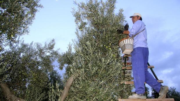 La recolección de la aceituna de mesa se inicia esta semana empezando por el Aljarafe