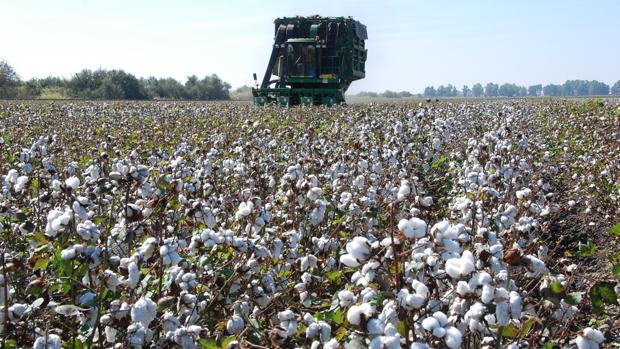 La recogida del algodón finalizará entre mediados y finales de octubre