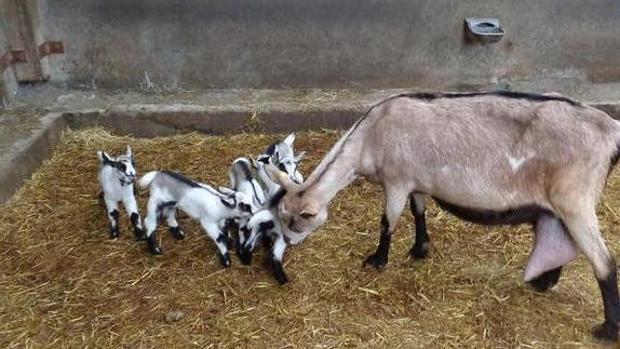 Ovejas y cabras son los principales beneficiarios de este avance