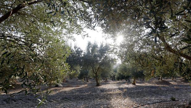 El olivar puede mejorar si se acompaña de otras plantas