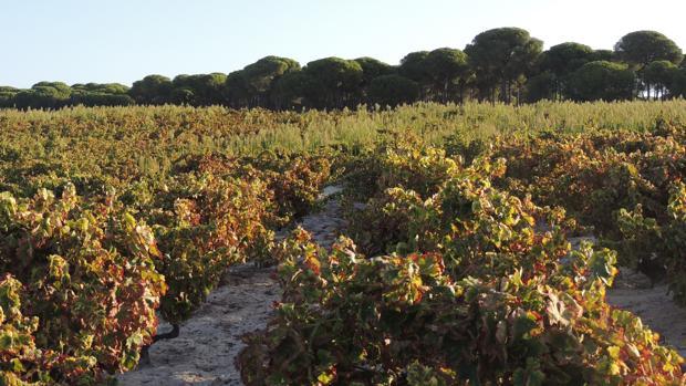 Viñedos de OnuCoop en el entorno de Doñana