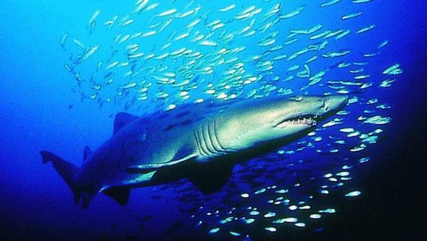 El temor de los peces a los tiburones aumenta las algas marinas en los arrecifes de coral