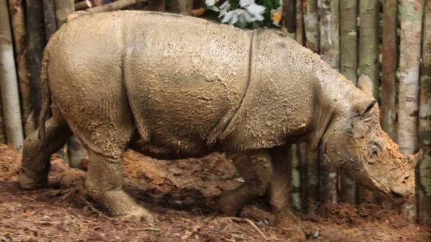 El rinoceronte de Sumatra lleva 9.000 años al borde de la extinción