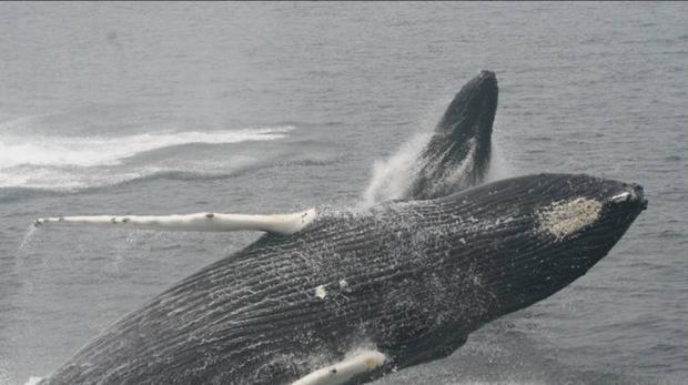 Una ballena protege a una buceadora de un tiburón