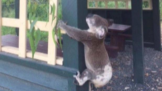Investigan la muerte de un koala que apareció atornillado a un poste de un mirador en Australia