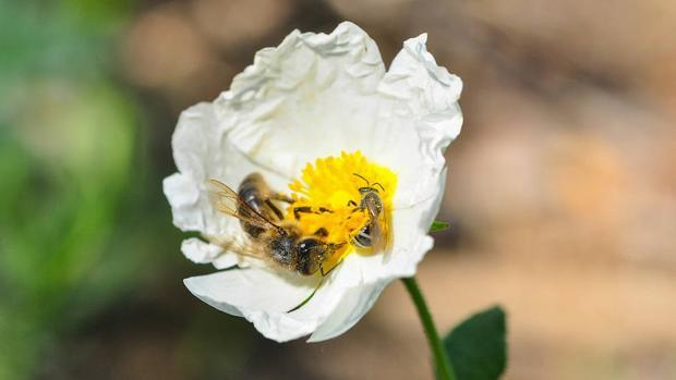 Algunas plantas ven disminuido su éxito reproductivo en zonas con altas poblaciones de las abejas de apicultura