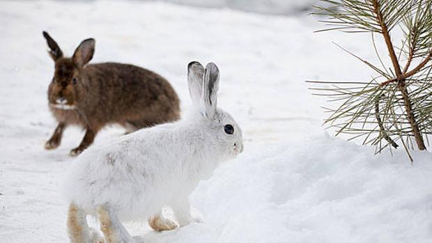 La disminución mundial de la capa de nieve puede tener un impacto dramático en los animales que cambian los colores de su abrigo con las estaciones