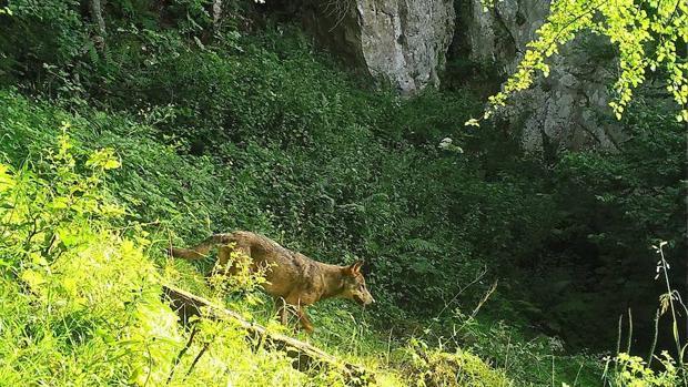 La pérdida de un depredador puede iniciar una cascada de extinciones