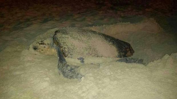 Piden que los esfuerzos de conservación de las tortugas consideren el campo magnético de las playas