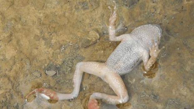 La Península de Corea es el origen del hongo responsable de la desaparición de los anfibios
