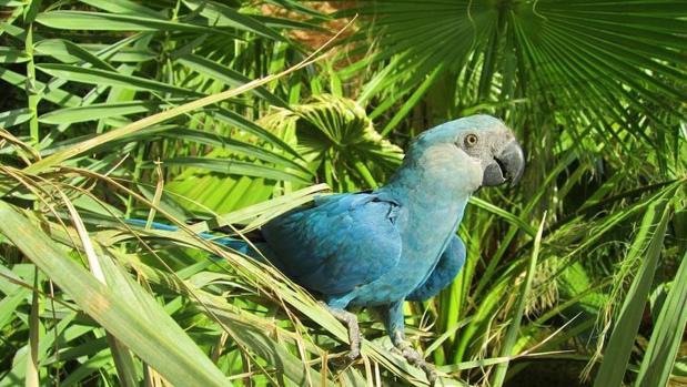El guacamayo de Spix encabeza la lista de aves que se han extinguido durante la pasada década