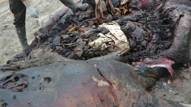 El plástico ya está detrás de, al menos, tres de cada cien muertes de cetáceos