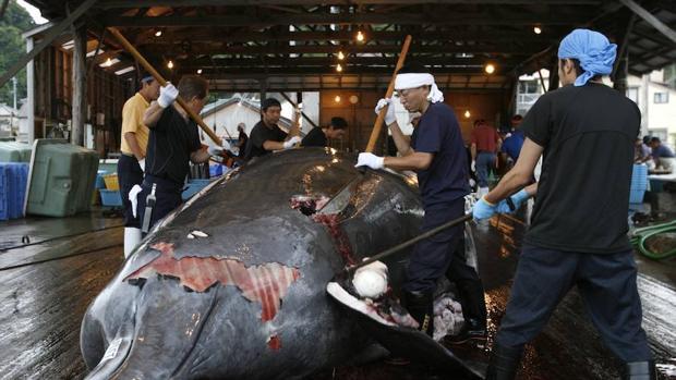 No se creará un comité para la caza sostenible de ballenas