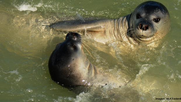 Se reintroducirá a la foca monje en Fuerteventura