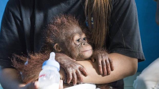 ¿Qué hace un bebé orangután en mi cuarto?