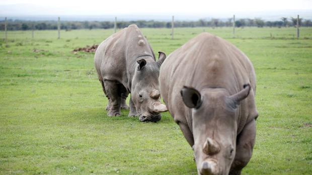 Un rayo de esperanza para salvar de la extinción al rinoceronte blanco del norte