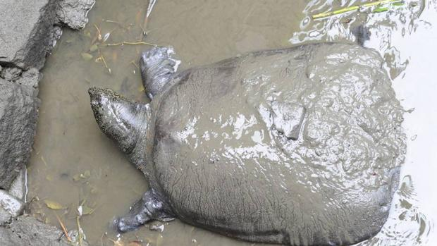 Muere la última hembra conocida de una especie de tortuga en peligro crítico de extinción
