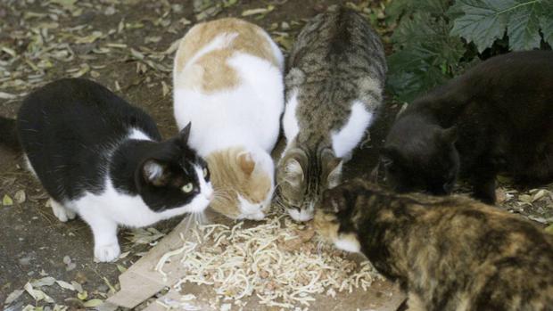 La proliferación de los gatos en Jerusalén trae de cabeza al Ayuntamiento
