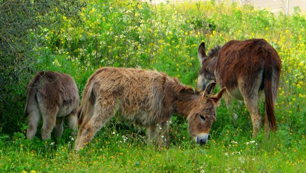 Los burros desbrozan la hierba en pleno centro urbano de Bormujos