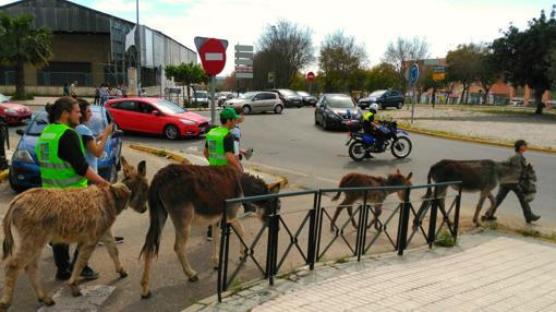 El equipo de burros se desplaza de una parcela a otra escoltado por la policía municipal