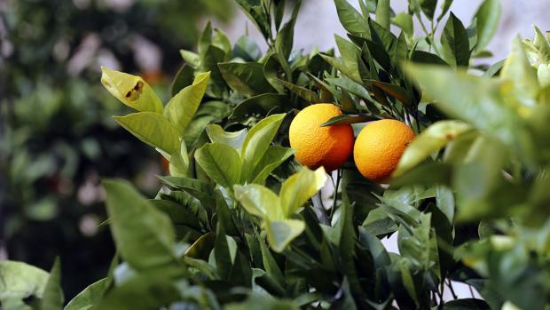 La Guradia Civil ha detenido a dos personas por hurtar 2.600 kilogramos de naranjas