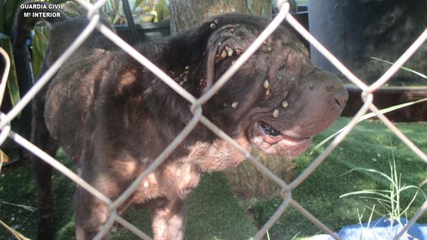 La perra, de raza Sharpei, fue encontrada cubierta de garrapatas y desnutrida