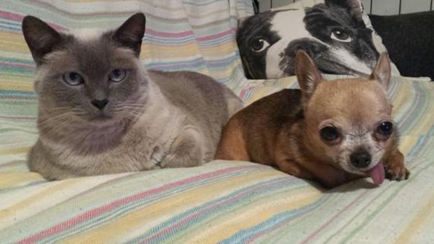Un perro chihuahua, una de las razas más demandadas, junto a un gato en una imagen de archivo