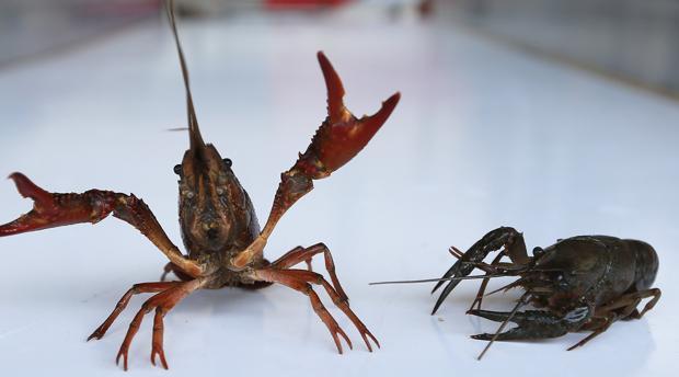 El setenta por ciento de la población de Isla Mayor se dedica a la pesca del cangrejo rojo