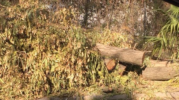 Los árboles talados en la urbanización mairenera