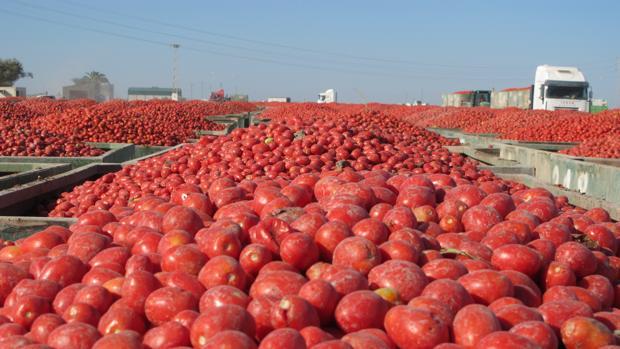 Durante los meses de verano, la explanada de la cooperativa Las Marismas se llena de tomate industrial recién recolectado
