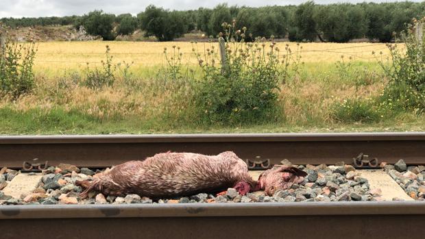 Uno de los ejemplares que resultó muerto tras arrollar un tren un rebaño de cabras