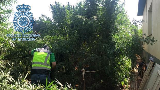 La Policía Nacional de Dos Hermanas ha detenido al propietario de una plantación de marihuana y a los que intentaron robársela